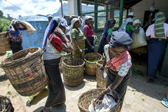 Tea pickers bring in their mornings work to be weighed at a plantation station near Nuwara Eliya in Sri Lanka. Royalty Free Stock Photos