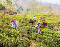 Tea pickers of darjeeling. Tea pickers in darjeeling, India, dressed in colorful clothes, are plucking the fresh tea leaves  from the bushes. It is the first Stock Images