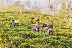 Tea pickers of darjeeling royalty free stock image