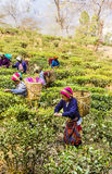 Tea pickers of darjeeling stock photography