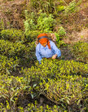 Tea pickers of darjeeling Royalty Free Stock Photos