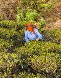 Tea pickers of darjeeling royalty free stock photos