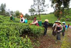TEA PICKERS IN INDONESIA Royalty Free Stock Photos