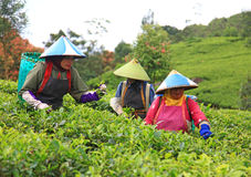 TEA PICKERS IN INDONESIA Stock Photo