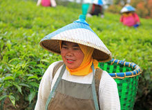 TEA PICKERS IN INDONESIA Royalty Free Stock Images