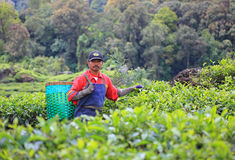 TEA PICKERS IN INDONESIA Royalty Free Stock Image