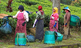 TEA PICKERS IN INDONESIA Royalty Free Stock Photography
