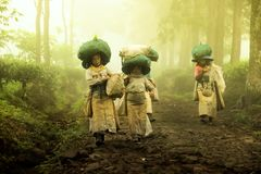The tea picking farmers came home after taking tea leaves in the fields. Wonosari Lawang East Java January 21, 2019 royalty free stock photography