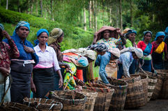 Tea pickers Royalty Free Stock Photos