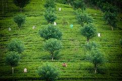 Tea pickers Stock Photography