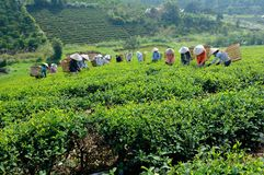 Tea pickers in Tam Chau, Bao Loc, Viet Nam #1 Royalty Free Stock Photography