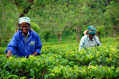 Tea Pickers At The Tea Plantation. Ceylon tea is known all over the world for its taste and flavor. Only Tamil women work at the plantations in Sri Lanka. The Stock Photography
