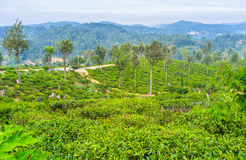The tea pickers Royalty Free Stock Photo