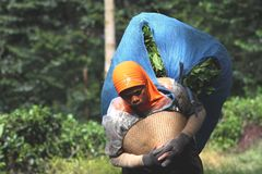 Tea pickers Stock Photos