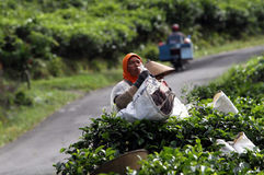 Tea pickers Royalty Free Stock Photography