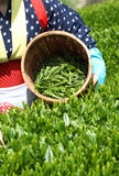 Tea picking. Asian woman picks in tea leaves of tea field Royalty Free Stock Photography