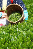 Tea picking. Asian woman picks in tea leaves of tea field Royalty Free Stock Photo