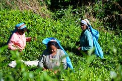 Tea picking, around Haputale Royalty Free Stock Photos