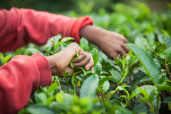 Tea picking Stock Photo