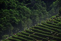 Tea picking in Chiang Rai Thailand royalty free stock photos