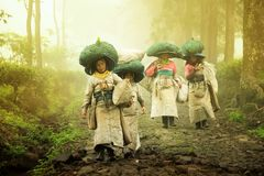 The tea picking farmers came home after taking tea leaves in the fields. Wonosari Lawang East Java January 21, 2019 stock photography