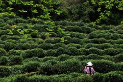 Tea picking, Hangzhou, China. Two young ladies pick tea-leaves, Hangzhou, China Royalty Free Stock Image