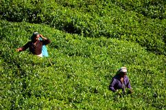 Tea picking at plantations, Sri Lanka stock photography