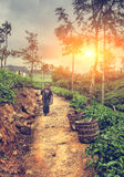 Tea picking in Sri Lanka hill country illuminated by bright sunl royalty free stock photos