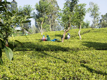 Tea picking in Sri Lanka hill country Stock Image