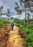 Tea picking in Sri Lanka hill country. Nuwara Eliya Stock Photography