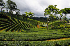 Tea planation landscape in the morning in the north of Thailand Stock Photos