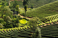 Tea planation landscape in the morning in the north of Thailand Royalty Free Stock Photo