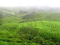 Tea plant. Cameron highland tea plant at morning Royalty Free Stock Photos