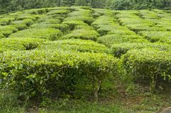 Tea Plant Royalty Free Stock Photo