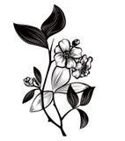 Tea plant. Illustration of medicinal plant Tea plant Stock Photo