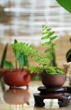 Tea plant Stock Image