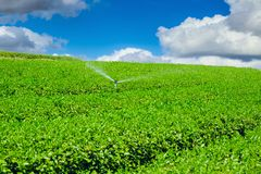 Tea plant agriculture industry Stock Photography