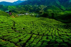 Tea plant. In Cameron Highland Malaysia Royalty Free Stock Photos