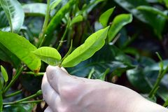 Tea plant green leaf harvest by human hand Stock Photography