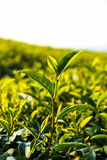 Tea plant Royalty Free Stock Images