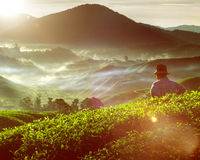 Tea Plant Harvest Hill Mountain Gardener Concept Stock Photography