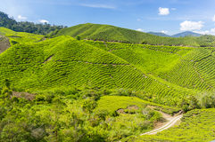 Tea plant landscape Royalty Free Stock Photos