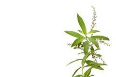 Tea plant lemon beebrush isolated on white Stock Images