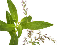 Tea plant lemon beebrush isolated on white Royalty Free Stock Photos