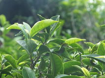 Tea Plant royalty free stock photography