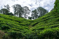 A tea plantage in Malaysia royalty free stock images