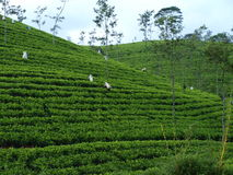 Tea plantages in Sri Lanka. In the hills close to Kadny town Stock Image