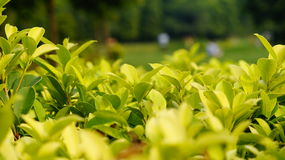 TEA PLANTAION. A great tea plantation in INDIA Stock Images