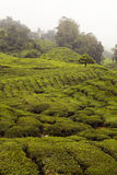 Tea plantantion in Cameron Highland Stock Photos