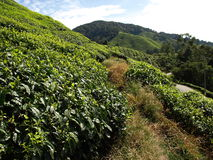 Tea plantantions Cameron Highlands. Beautiful Boh Tea plantations in Cameron Highlands, Malaysia royalty free stock image